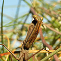 European Mantis (16103985272).jpg