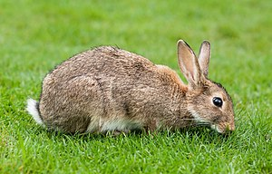 European rabbit - European rabbits typically spend much of their time grazing on grass.
