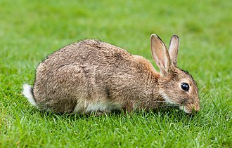 European rabbit - European rabbit grazing, Lake District, UK.