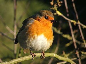 European Robin 2.JPG