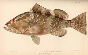 Pseudorhabdosynochus justinella - The  Red grouper, Epinephelus morio is the type-host of Pseudorhabdosynochus justinella