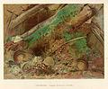 FMIB 41921 Chipmunk (Tamias striatus lysteri).jpeg