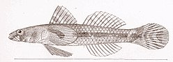 FMIB 47960 Aboma etheostoma.jpeg