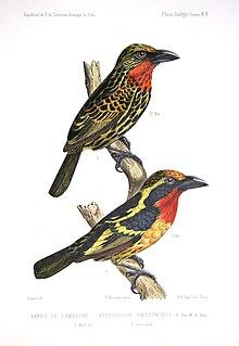 Gilded barbet species of bird