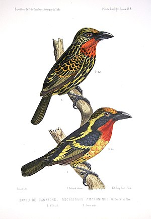Gilded barbet - A male (below) and a juvenile (above)