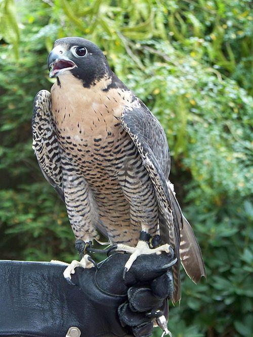 500px falco peregrinus   avenefica