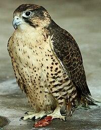 Falco pelegrinoides captive1.jpg