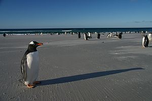 Falkland Islands Penguins 65.jpg