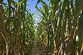 Feed Corn (3914406966).jpg