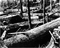 "Felled redcedar logs of Skagit County, ""ready for the donkey"" (CURTIS 1746).jpg"