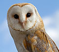 Female Barn Owl 2 (6942362843).jpg