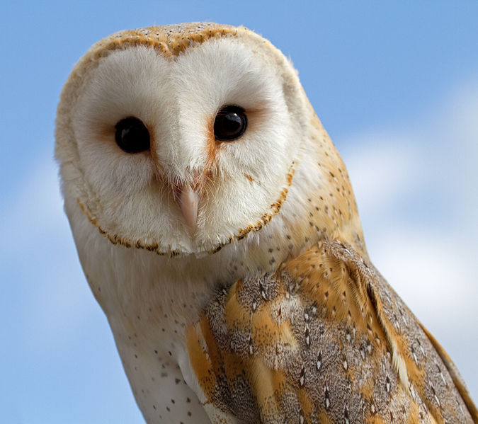 File:Female Barn Owl 2 (6942362843).jpg