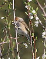 Female Blackcap.JPG