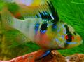 Female Blue Ram.png