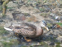 A brown duck in a fast-flowing stream.