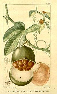F. cordifolia