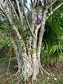 Ficus cotinifolia 33045601.jpg