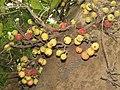 Ficus racemosa fruits at Peravoor (12).jpg