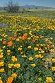 Field flowers Mexican poppies.jpg
