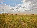 Field of Beef (5205473530).jpg