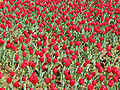 Field of tulips - floriade canberra.jpg