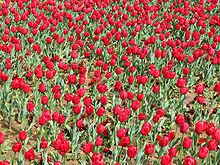 كانبرا مدينة الزهور