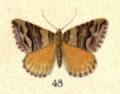 Fig. 48 Plate VII New Zealand Moths and Butterflies (1898).png
