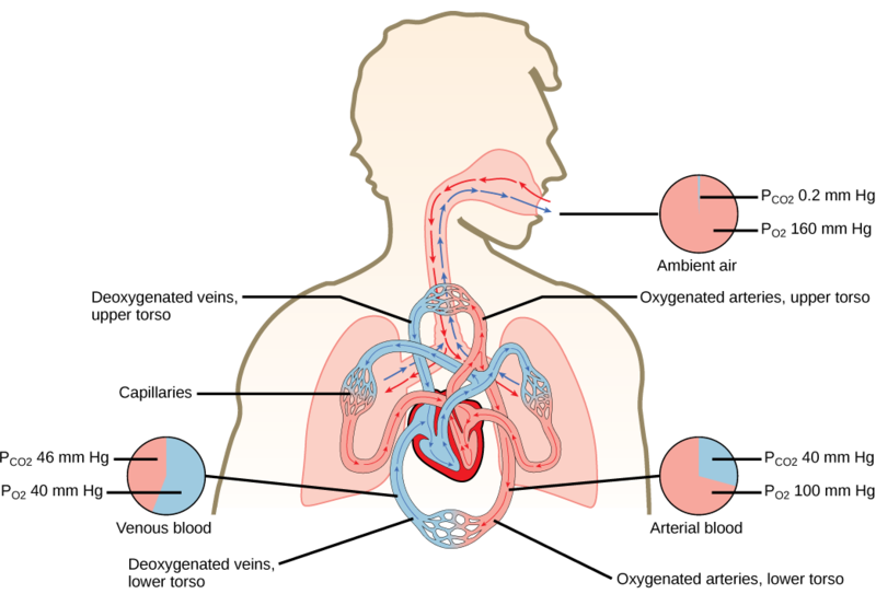 cross the alveolar membrane and trace your route out of the body through the nose The nose and nasal cavity, p 817  breathing through your mouth bypasses this  surrounds each alveolus as part of the respiratory membrane blood from alveolar.