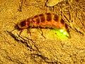 Firefly Nevit 02666 cr.jpg
