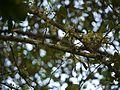 Flaucortia indica (6368101949).jpg