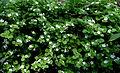 Fleurs du Jardin Delaselle - Ile de Batz.JPG