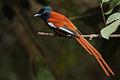 Flickr - Rainbirder - Red-bellied Paradise Flycatcher (Terpsiphone rufiventer) male (1).jpg