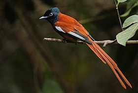 Flickr - Rainbirder - Red-bellied Paradise Flycatcher (Terpsiphone rufiventer) male (1).jpg