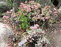 Flickr - brewbooks - Eriogonum grande var. rubescens.jpg