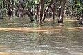 Flooded trees in Kampong Phlouk (1).jpg