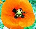 Flor de Papoila (277728035).jpg