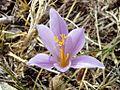 Flor del azafran de la sierra de Gibalto.jpg