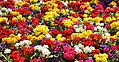 Floral Display Centenary Square 2 (17039480079).jpg