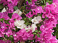 Flores - Quintana Roo - México.jpg