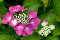 "Flower, Hydrangea ""Fazan"" - Flickr - nekonomania (1).jpg"