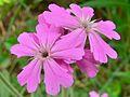 Flower of Jove (Silene flos-jovis) (8338517764).jpg