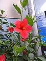 Flower of jasmine.jpg