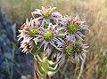 Flowering Sempervivum.jpg