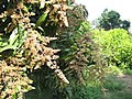 Flowering of Mango Tree, Dungri, Udvada R S - panoramio.jpg