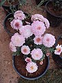 Flowers - Uncategorised Garden plants 20.JPG