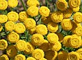 Flowers of the Tansy plant - geograph.org.uk - 523912.jpg