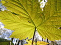 Fly beneath a leaf, Sandy, Bedfordshire (8693097543).jpg