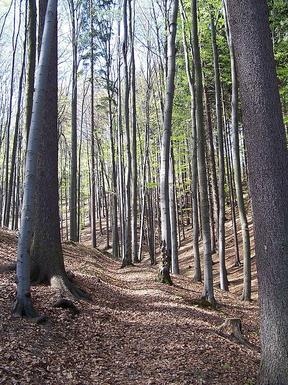 V listnatom lese sa tvorí pomerne veľa humusu.