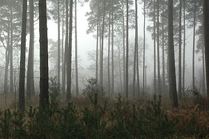 English: Forest in mist