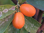 Fortunella (kumquat) 14.JPG
